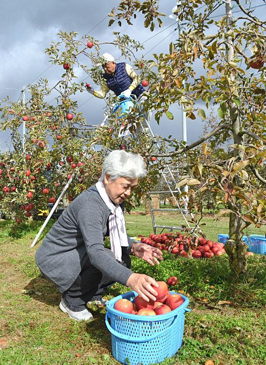 県内外の家族連れらがそれぞれ「オーナー」になった木でリンゴの収穫を楽しんだ