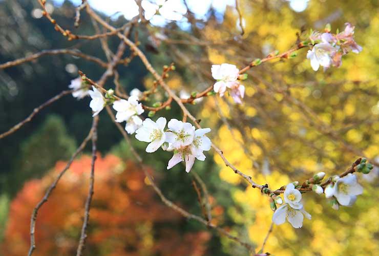 木々の紅葉を背景にかれんな花を咲かせる四季桜=16日、根羽村黒地