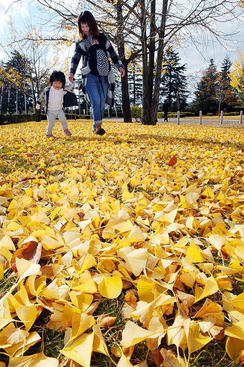 芝生を黄色く染めるイチョウの落ち葉=県五福公園