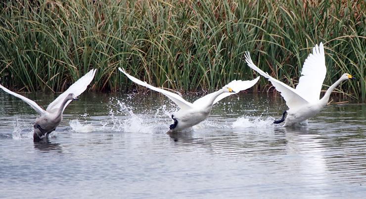 氷見市の十二町潟水郷公園に飛来したオオハクチョウ