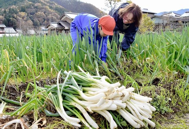 出荷の最盛期を迎えた谷田部ねぎを収穫する生産者と児童=24日、福井県小浜市谷田部