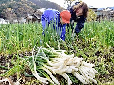 GI谷田部ねぎ、今年も上々 小浜の伝統野菜