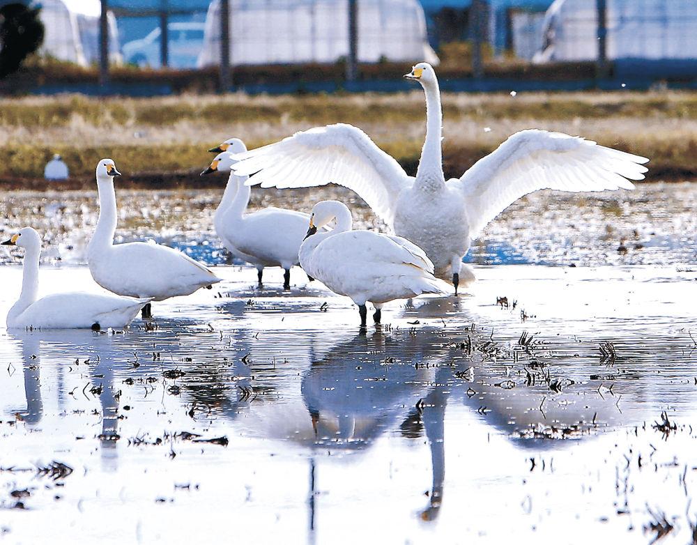 羽を広げるオオハクチョウ=加賀市の柴山潟干拓地