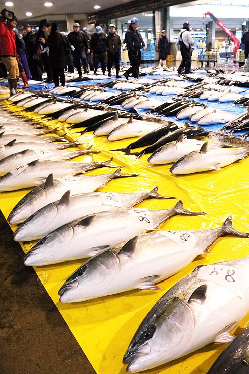 シーズン開始が宣言され、せり場に並ぶ「ひみ寒ぶり」=氷見魚市場
