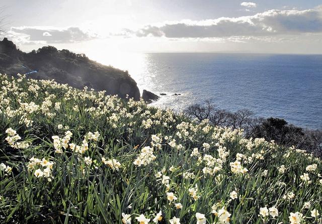 水仙が美しい花を咲かせる越前海岸の群生地=2016年12月、福井県越前町梨子ケ平