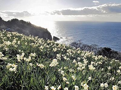 「水仙の秘境」ツアー企画 越前海岸で食や体験も