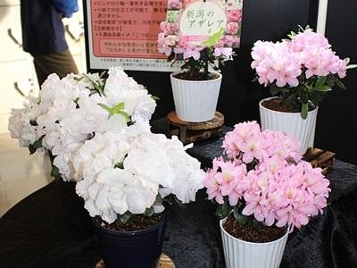 新潟県産アザレア二つの新品種 県立植物園で展示