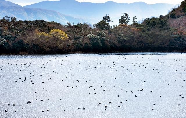 多くの野鳥が飛来している猪ケ池=福井県敦賀市(野鳥の写真は田川亨さん提供)