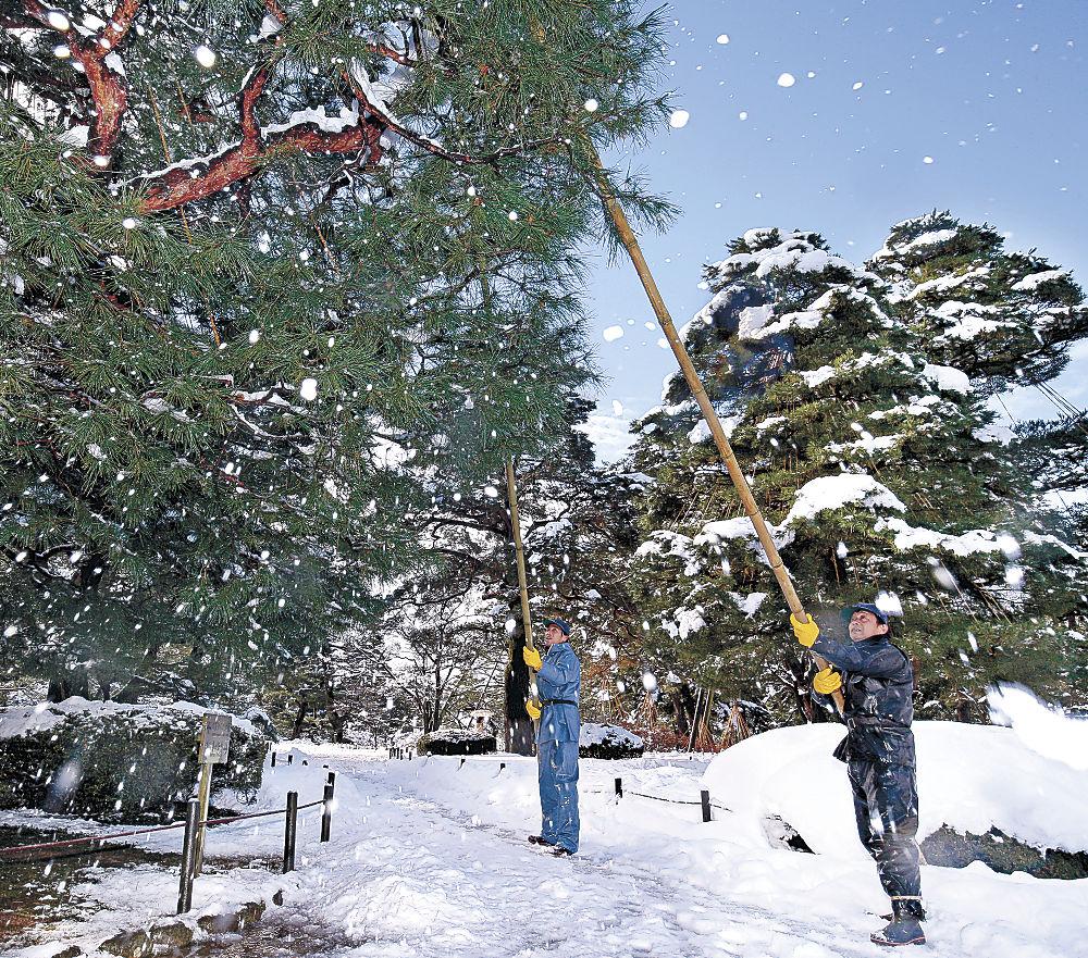 晴れ間に枝を揺らして雪をふるい落とす庭師=兼六園