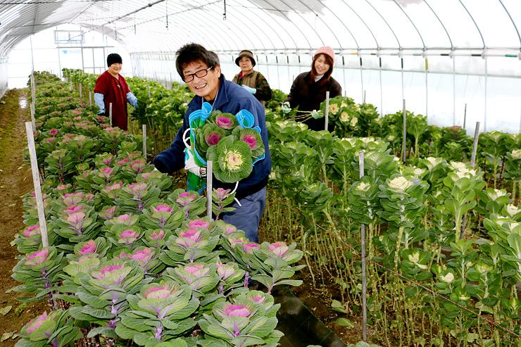 切り花ハボタンを収穫する生産者