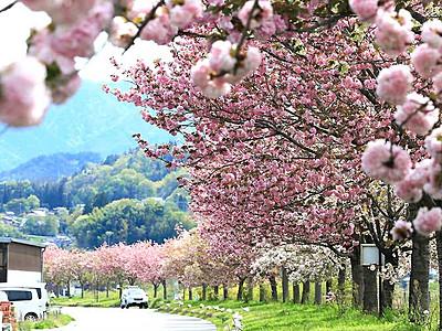 市道にフランス友好都市の名 飯田の八重桜並木道