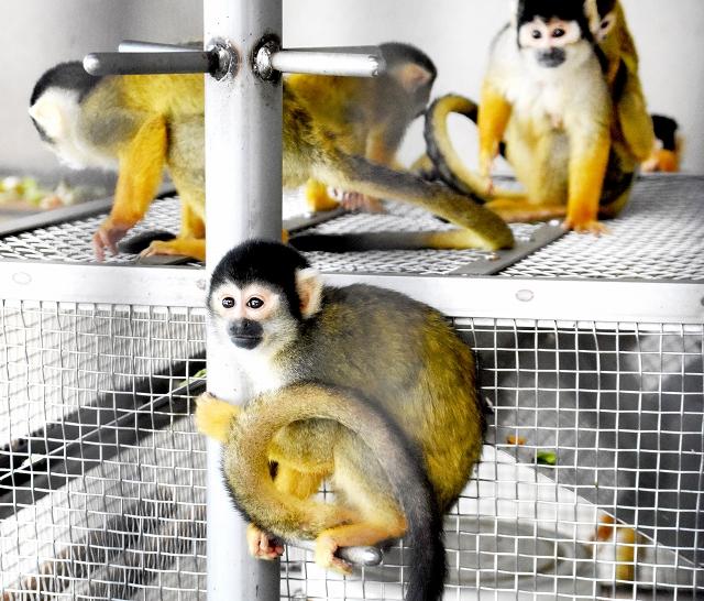 ストーブの周りに集まり暖をとるボリビアリスザル=鯖江市西山動物園