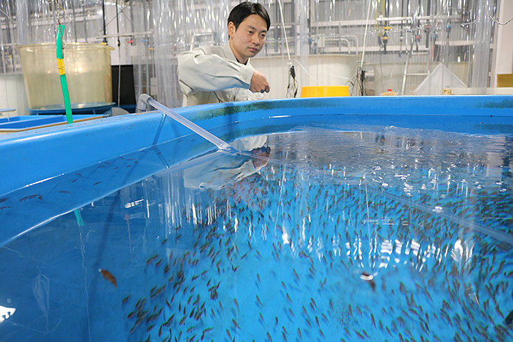ノドグロの性比の偏りを改善する研究に取り組む福西研究員=県水産研究所