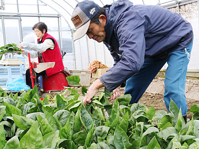 寒締めホウレンソウ収穫 高岡
