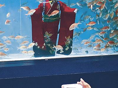 水中でめでタイ成人式 のとじま水族館、振り袖姿で水槽に