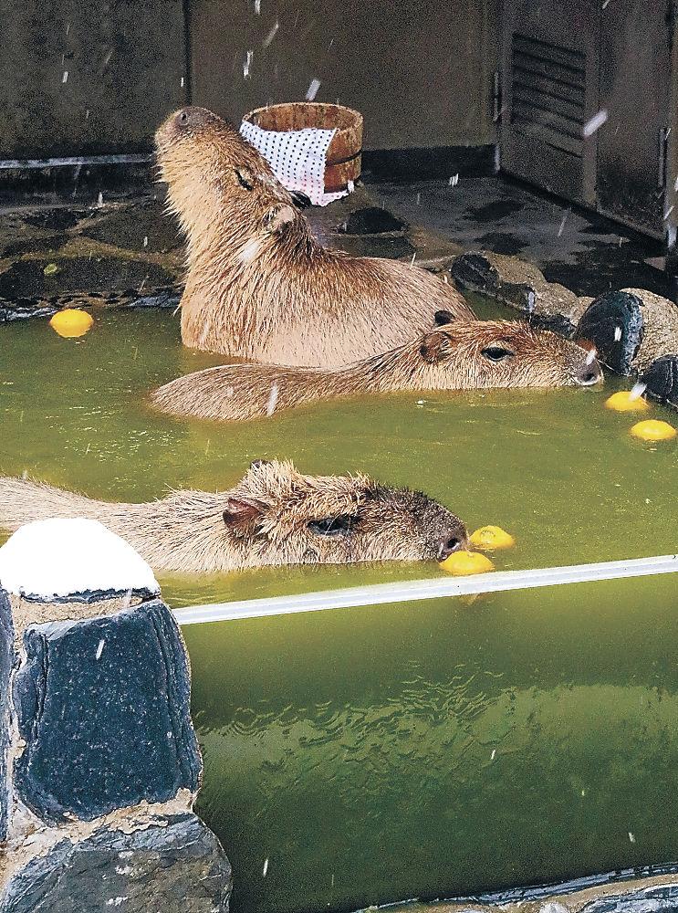 変わり湯につかるカピバラ=能美市のいしかわ動物園