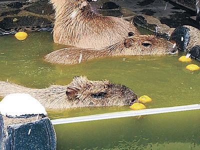変わり湯でカピバラのんびり いしかわ動物園
