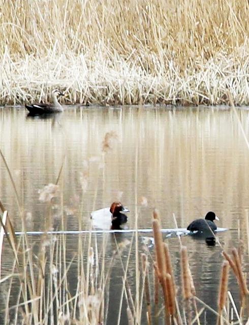 中池見湿地の通称「笹鼻池」で羽休めするオオバンやカモ類=12日、福井県敦賀市樫曲