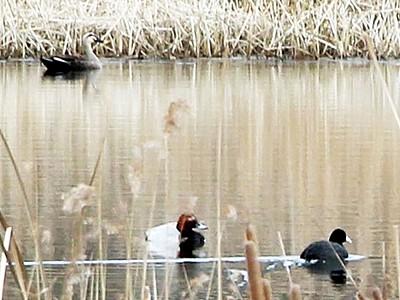 敦賀・中池見で水鳥が羽休め 2月にバードウオッチング