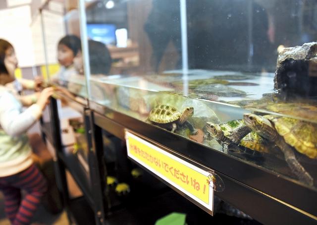 亀の姿を間近で見ることができる新春特別企画展=福井県大野市糸魚町の本願清水イトヨの里