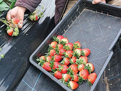 甘いイチゴ楽しんで 氷見で収穫始まる