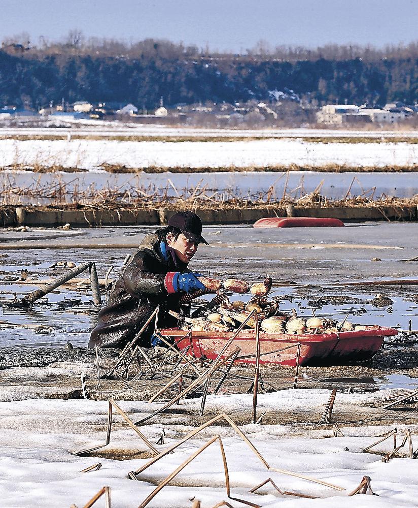 雪が残る田でレンコンを掘り出す生産者=内灘町湖西