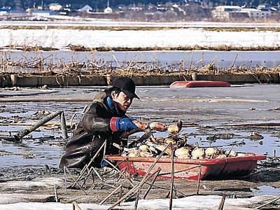雪解け、レンコン収穫再開 河北潟