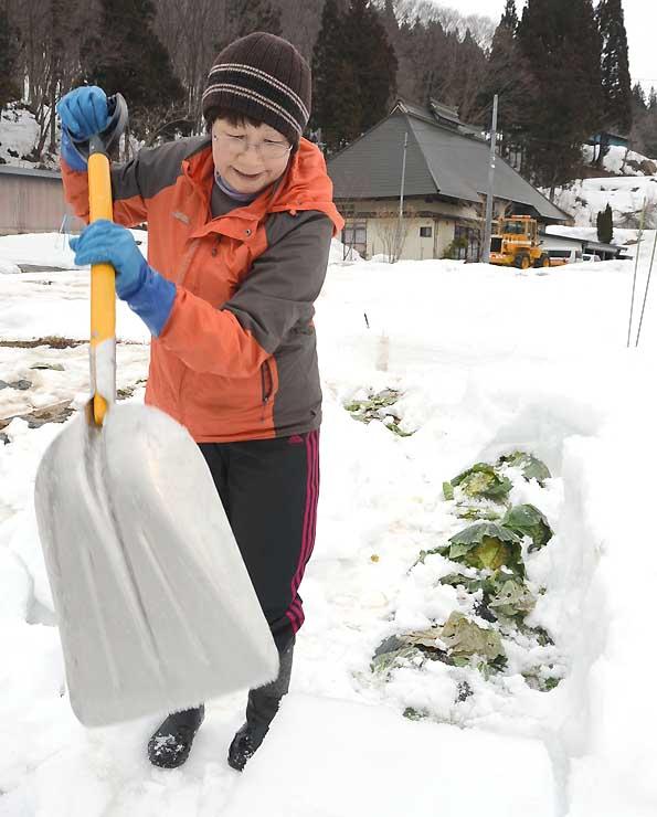 畑を覆う雪の中からキャベツを掘り起こす田原さん