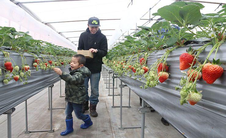 イチゴ狩りを楽しむ親子連れ=21日、長岡市鉢伏町の長岡東山ふるさと体験農園