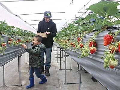 真っ赤な大粒たっぷりと 長岡・東山農園でイチゴ狩り