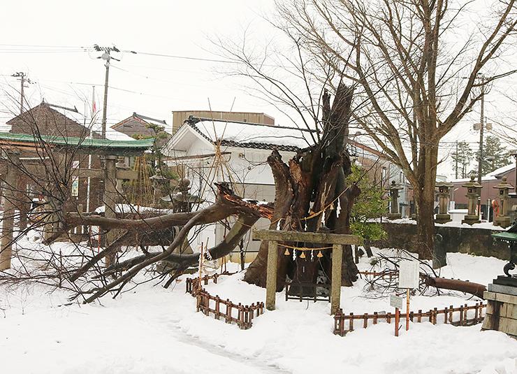 大雪で折れた有礒正八幡宮境内のご神木=高岡市横田町
