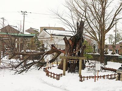 ご神木の延命決定 有礒正八幡宮 高岡・大雪被害