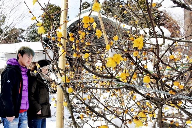 見頃を迎えているロウバイ=25日、福井県敦賀市の常宮神社