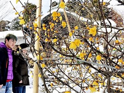 敦賀の常宮神社でロウバイが見頃 雪景色の中に鮮やか黄色