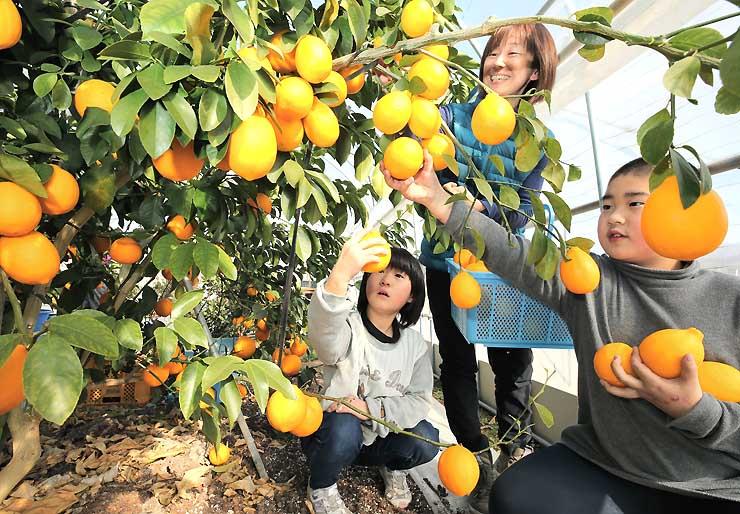 子どもたちと一緒にマイヤーレモンを収穫する矢沢有紀さん(右から2人目)=中川村片桐