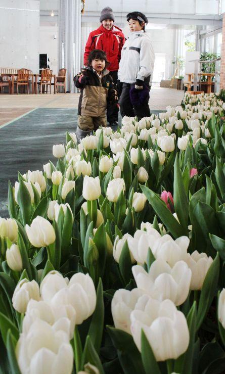 冬季に花を咲かせる「アイスチューリップ」=27日、長岡市宮本東方町
