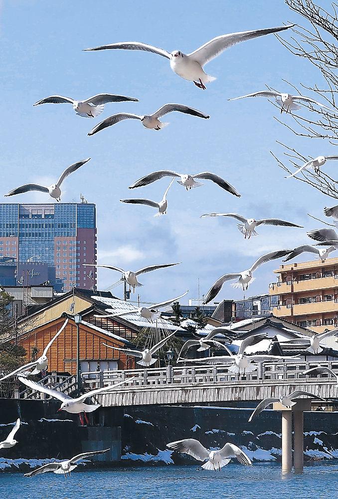 青空が広がる中、乱舞するユリカモメ=金沢市の浅野川大橋周辺