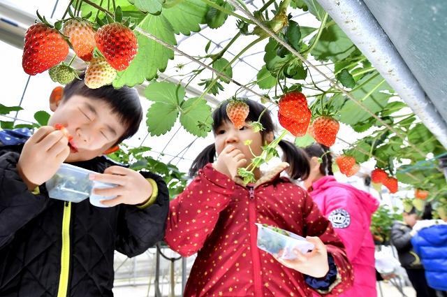 摘み取ったイチゴを頬張る園児=1日、福井県あわら市のいちごハウス農楽里