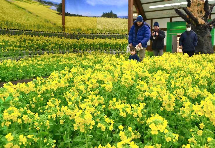 国営アルプスあづみの公園の会場を彩る約1万6千本の菜の花