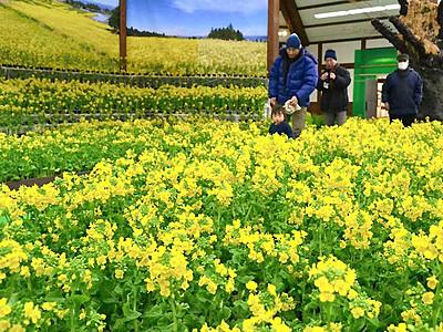 菜の花、一足早い春を演出 安曇野の国営公園