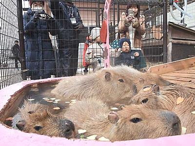 「ハート湯」カピバラ、気持ち良い? 須坂市動物園