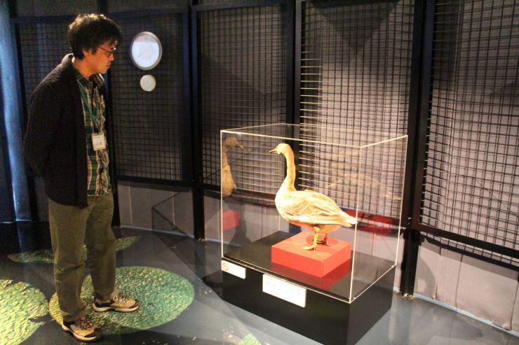 ビュー福島潟で展示されているオオヒシクイの剥製=新潟市北区