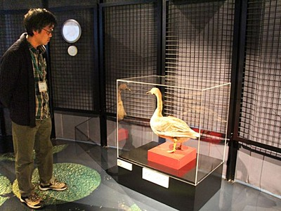 オオヒシクイ間近に 剥製3月まで展示 ビュー福島潟