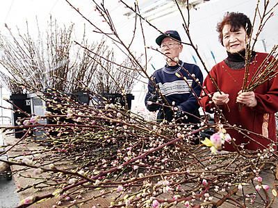 氷見で桃の花出荷ピーク ひな祭り彩る