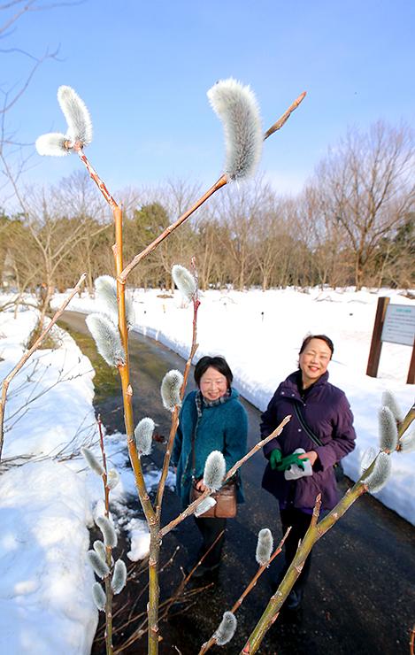 青空の下、銀白色に芽吹いたネコヤナギ=県中央植物園
