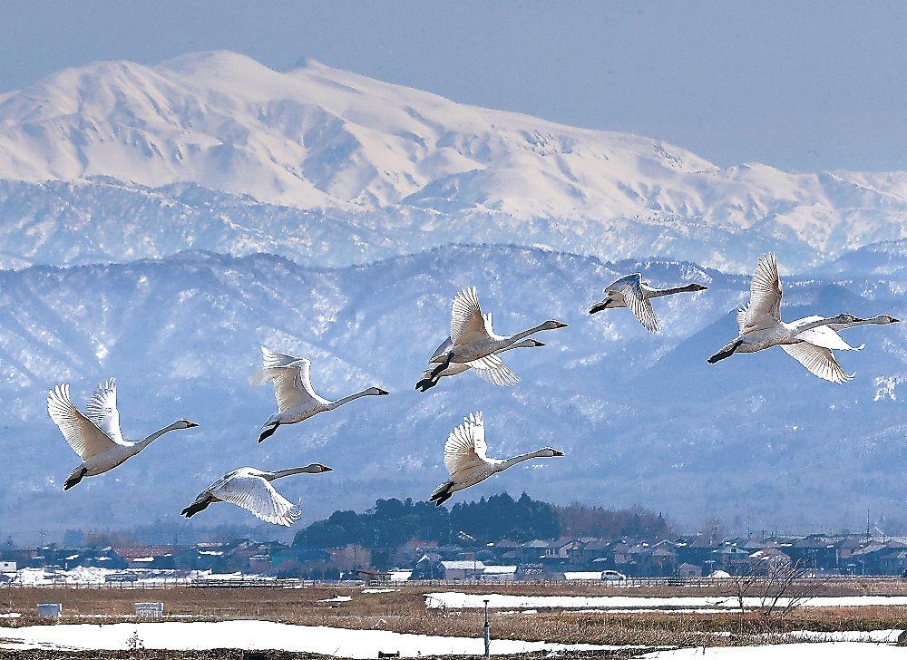 北へ向かうコハクチョウの群れ=加賀市の柴山潟干拓地