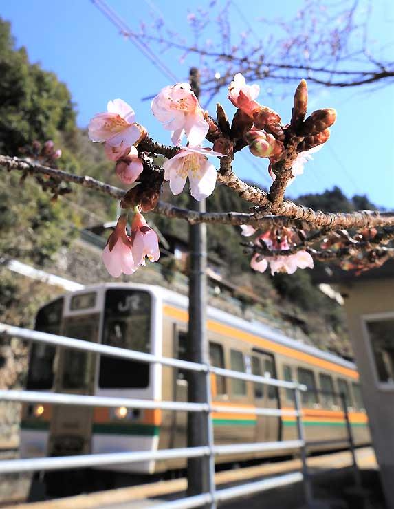 淡いピンクの花がほころんだJR伊那小沢駅のカンザクラ