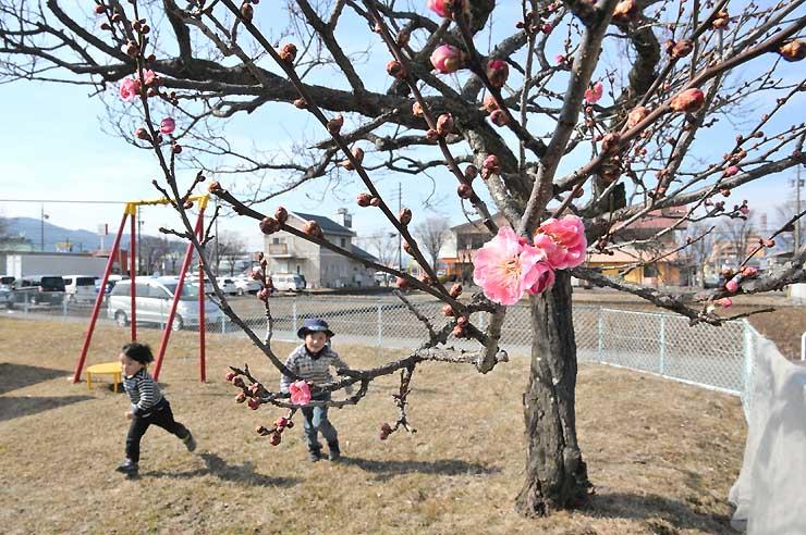 濃いピンク色の紅梅の花がほころび始めた米田公園=7日、諏訪市沖田町