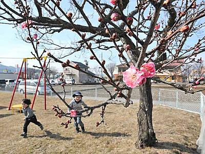 春の雰囲気、紅梅ほころぶ 諏訪・米田公園