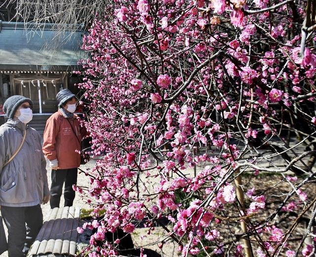 満開に咲き誇る寒紅梅=12日、福井県敦賀市常宮の常宮神社